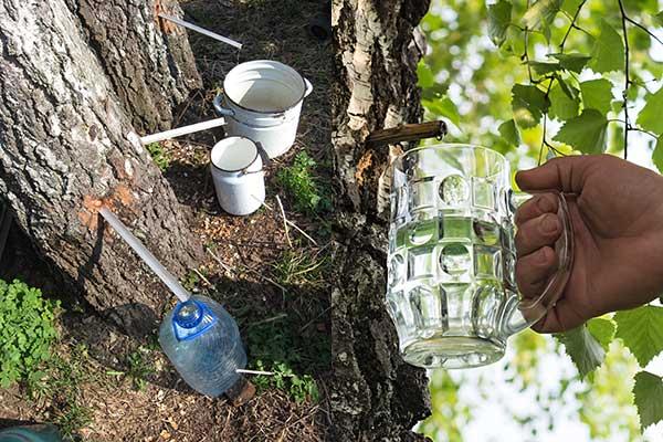 Abzapfen von Birkensaft aus dem Baum in Gefäße
