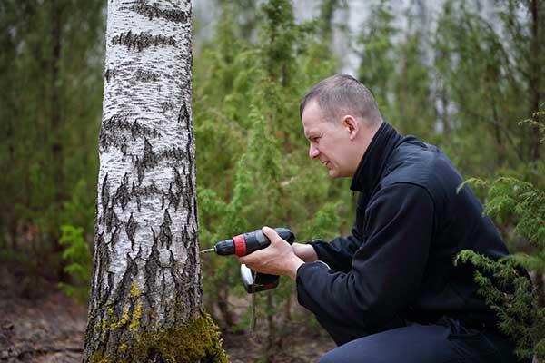 Ein Russe bohrt einen Birkenbaum an