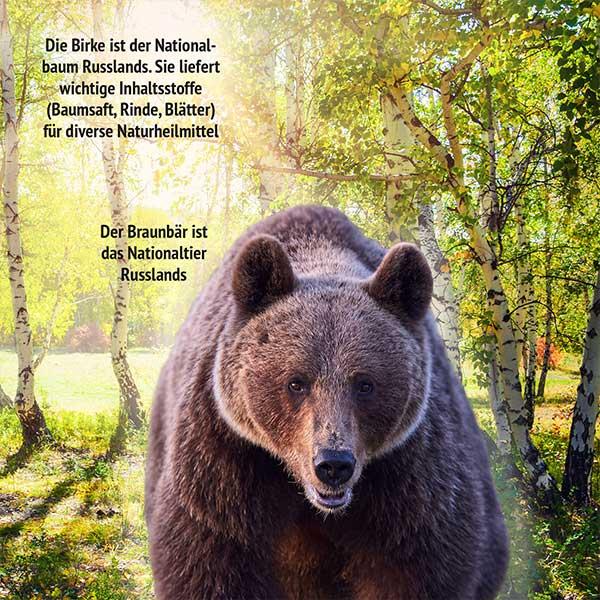 Birkenwald und Braunbär