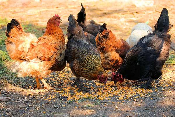 Fütterung von Hühnern mit Mais