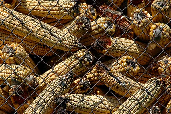 Von Schimmelpilzen befallene Maiskolben