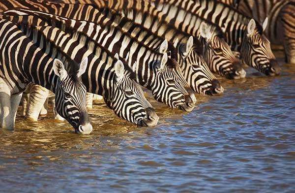 Zebras trinken an Wasserstelle